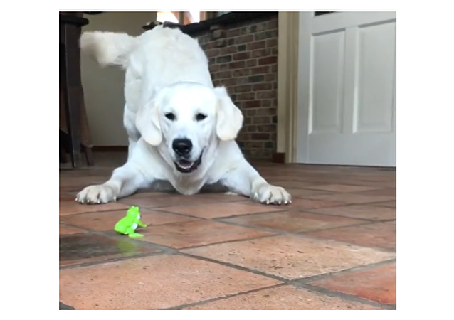 Golden Retriver and a Frog