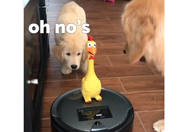 Golden Retrievers and Duck