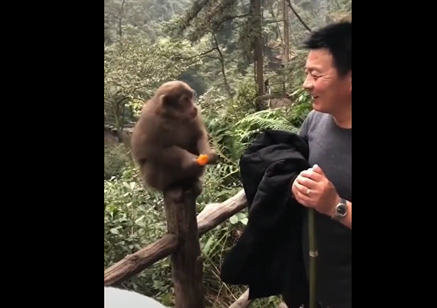 Monkey eats fruit